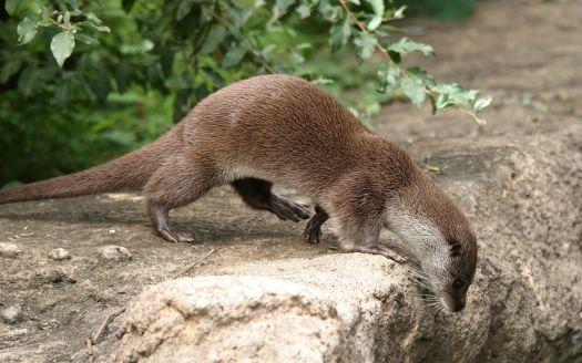 Otter peaking