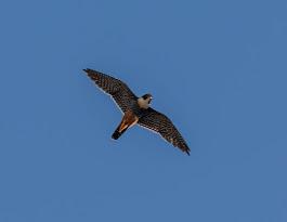 POSTER: Cauré, Falco rufigularis,Vitória, ES Brasil.