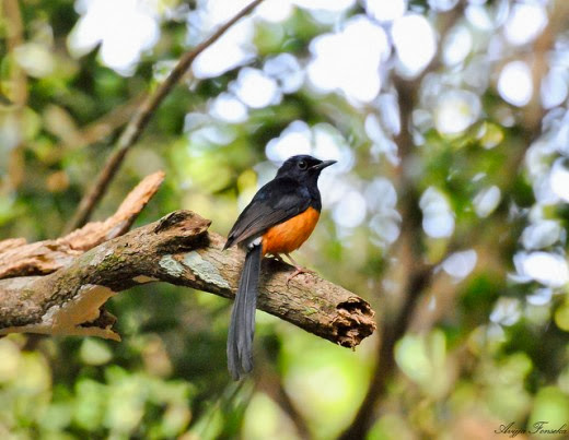 White-rumped_Shama-Wilpattu-National-Park