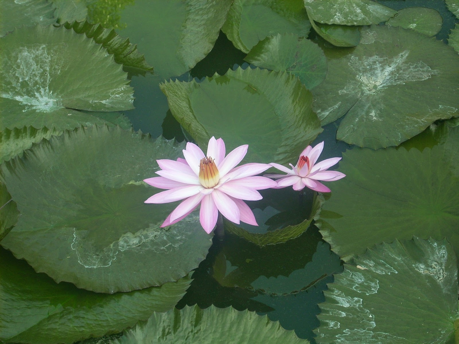 Lovely lotus poems photographs and stories in english marathi lovely lotus izmirmasajfo