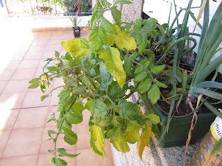 Tomate, cultivo del tomate.Tomatera.