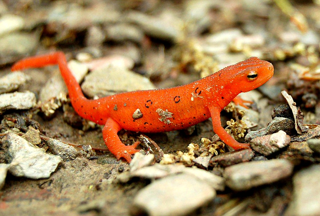newts are known best for their lizard shaped body with four legs and a ...