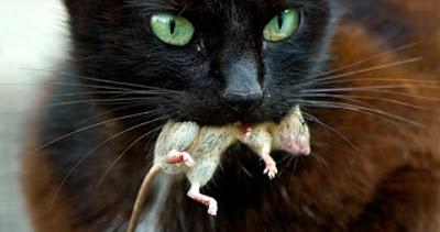 gato com rato morto na boca