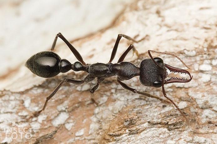 Giant Brown Bull Ant - Myrmecia pyriformis or Myrmecia