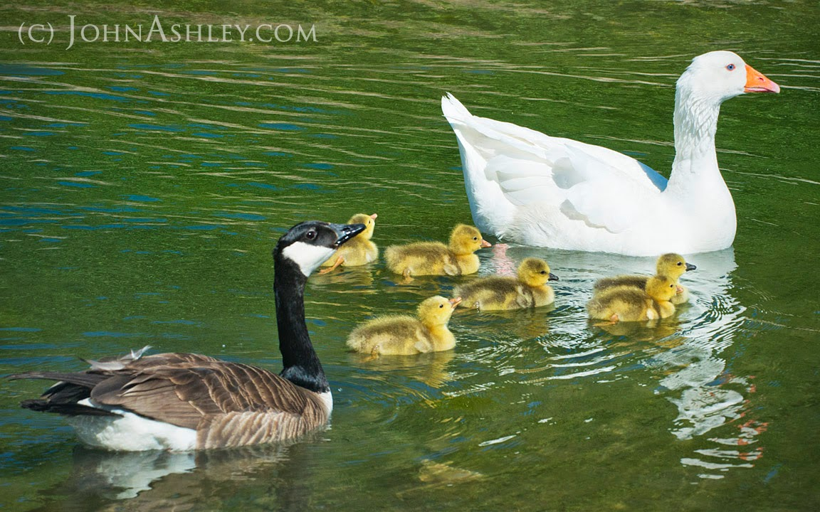 Canada and domestic goose family (c) John Ashley