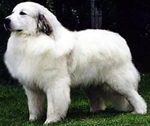 Great Pyrenees Puppies on Rescue Dogs Map Of Pyrenees Pau Pyrenees Pyrenees Maps Midi Pyrenees