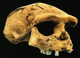 Fosil tengkorak Manusia Purba di Indonesia
