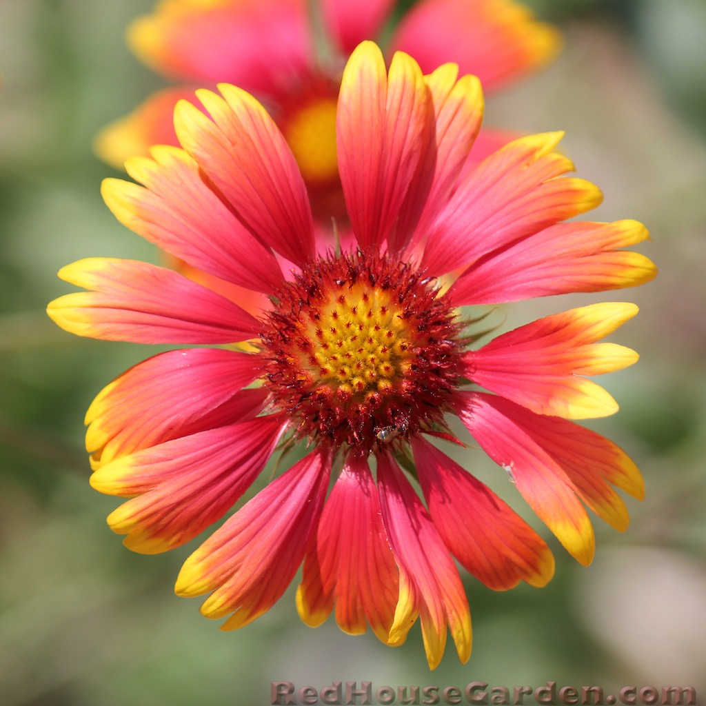 Red House Garden Problem with Blanket Flowers