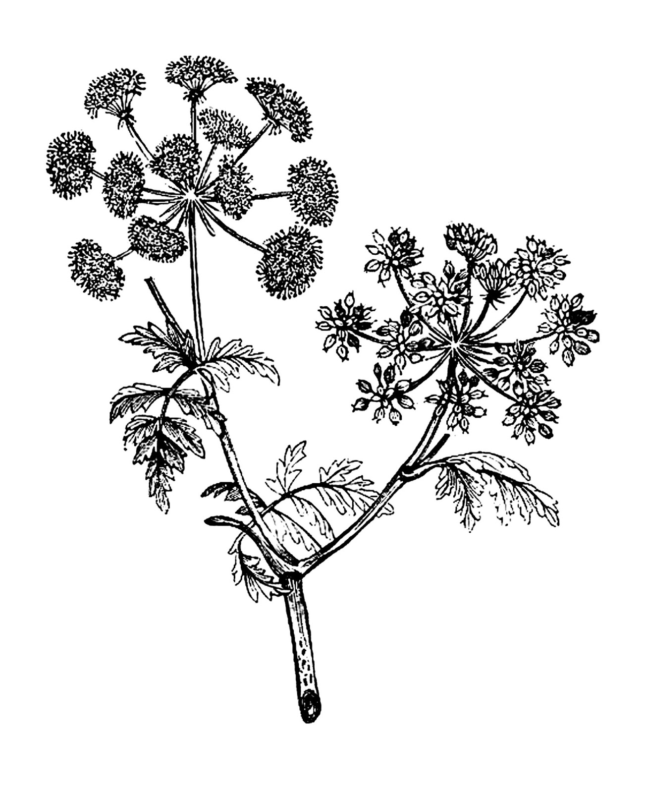 Botanical illustration black and white - photo#18