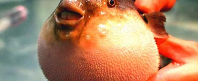 Blowfish Sperm
