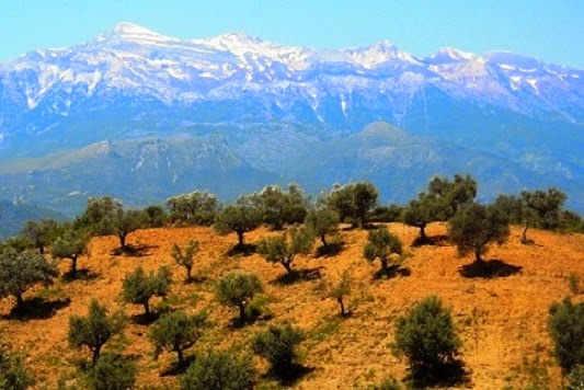 Organic Extra Virigin Olive Oil Orchard