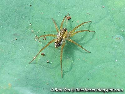 Pond Wolf Spider (Pardosa pseudoannulata)