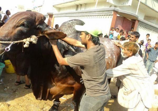 Cow Qurbani,Eid ul Adha 2013,Bakra Eid,Camel Qurbani