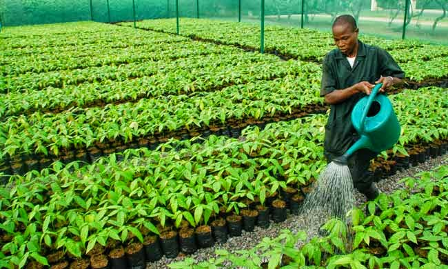 Cocoa Seedling