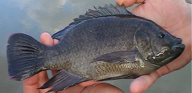 6 Strong Reasons You Should Never Eat Tilapia