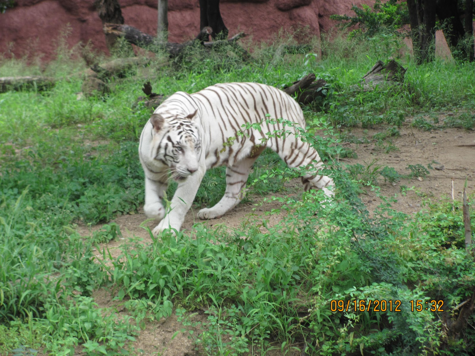 Zoologist With White Tiger Snap of white tiger present inZoologist With Tiger