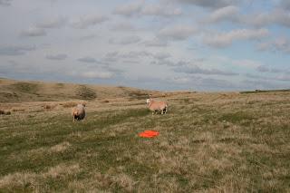 STRATODEAN Two Sheep