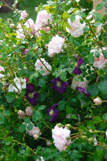 Roses are great hosts for Clematis vines. This light pink rose pairs very well with the deep violet Clematis 'Etoile Violette'.  The vine is planted underneath the arching rose stems, which keep it cool in this hot spot. It receives a good mulching every year.