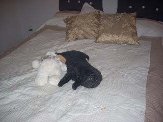 cachorros de Shar Pei negros