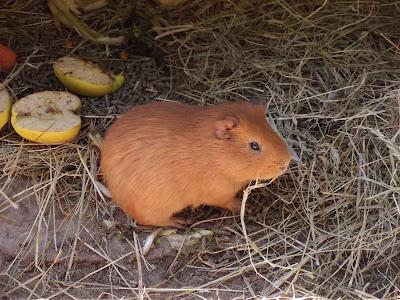 zoo de la Boissière du Doré, zoo, animaux, hamster, bullelodie