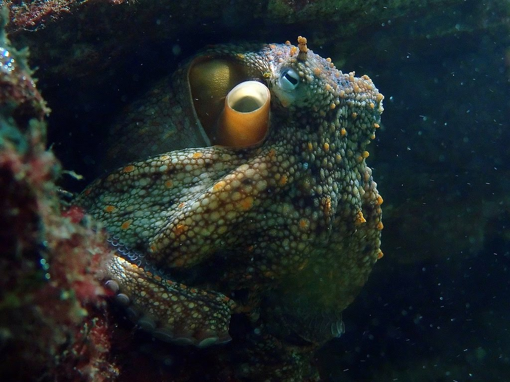 Life Of Common Octopus