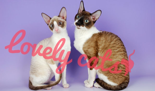 Cornish Rex. | Lovelycats