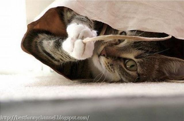 Funny cat in bag
