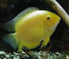 Gambar Ikan Severum
