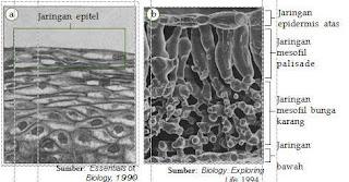 Organisasi kehidupan tingkat jaringan pada  hewan dan tumbuhan. (a)  Jaringan epitel pada  manusia dan  (b) jaringan pada daun.