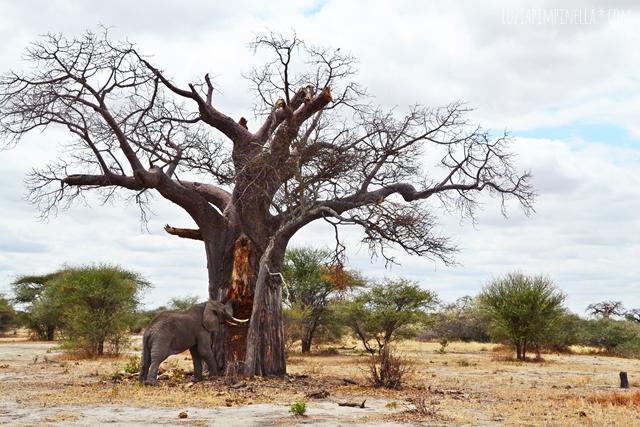 travel tansania | elefant & baobab in der serengeti | luzia pimpinella
