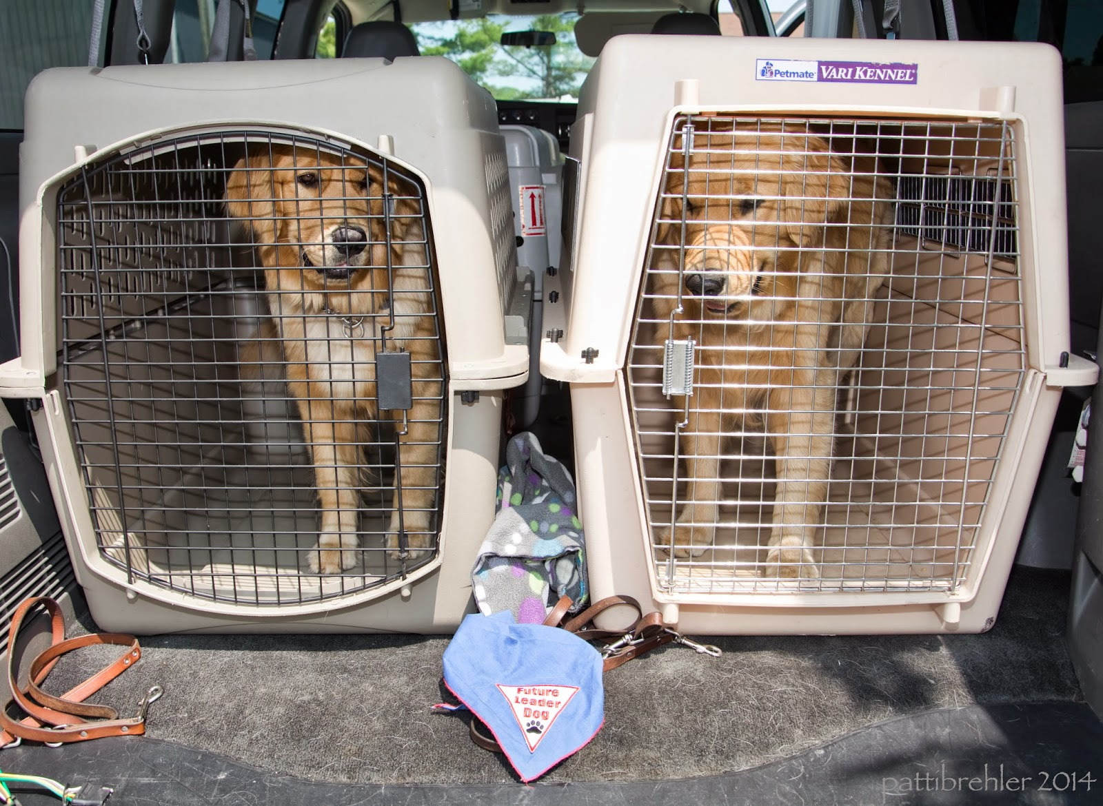 Two airline crates are in the back of a van with two golden retrievers in them. The dogs are both standing up looking out from the crates. There are two leashes on the floor of the van in front of the crates and a blue Future Leader Dog bandana.