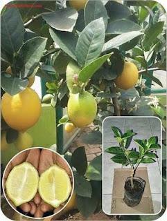 bibit-lemon-tanpa-biji.jpg