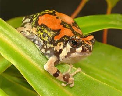 gambar katak lucu