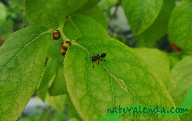hormiga en arandano limpiando hojas