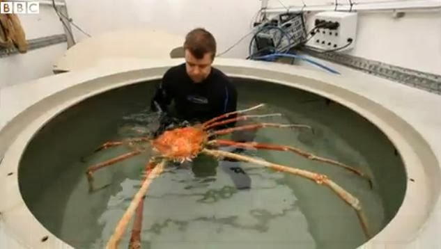 Japanese Spider Crab in tank compare size with human