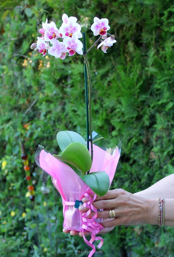orquídea phal