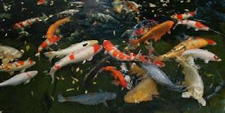 cara budidaya ikan,cara memelihara ikan koi di kolam terpal,di kolam rumah,di aquarium,bagi pemula,agar tidak mati,supaya cepat besar,lele di kolam terpal,di kolam tanah,