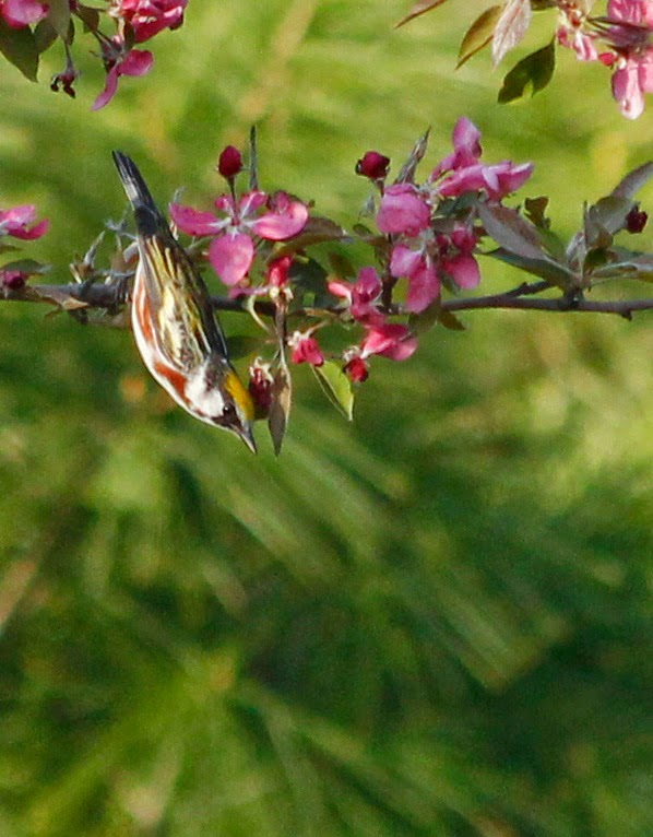 chestnut sided warbler upside down