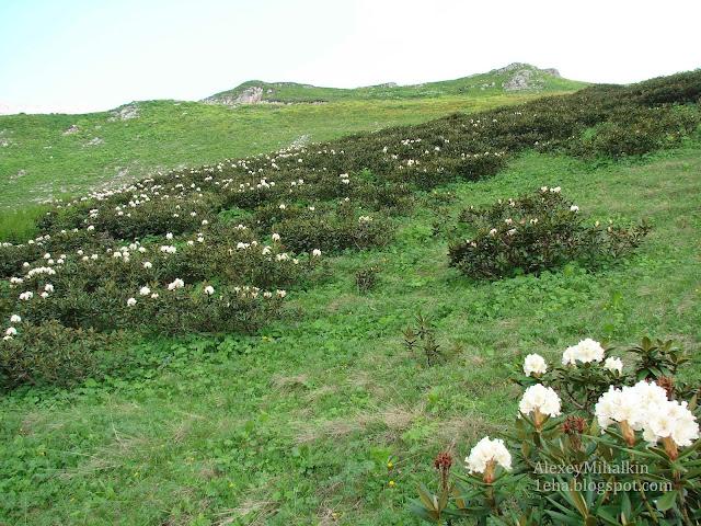 Абхазия рододендрон