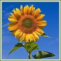 sunflowers massage gratis knull