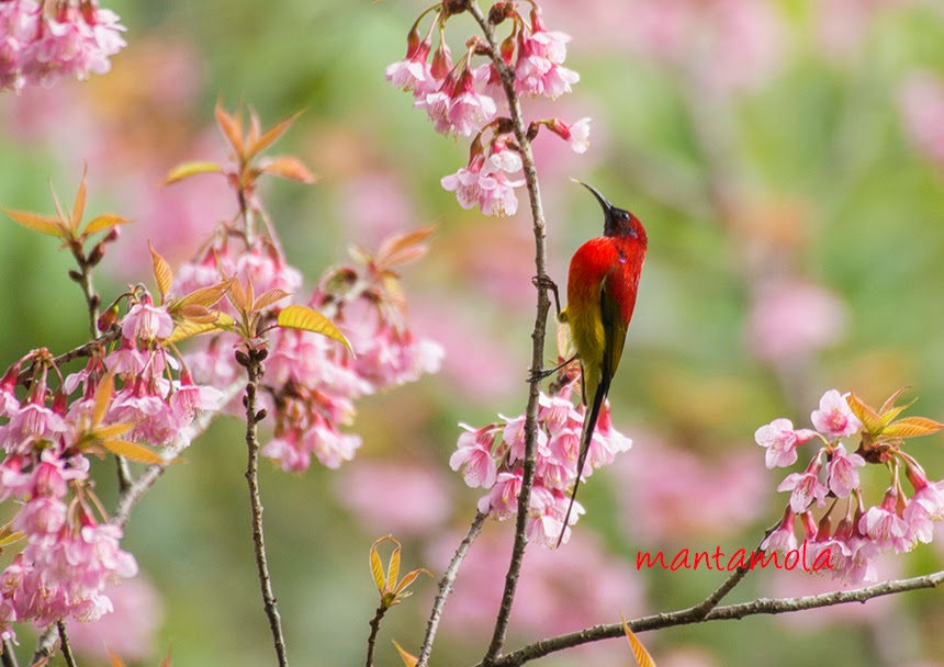 Mrs. Gould's Sunbird Sunbird (Aethopyga gouldiae)