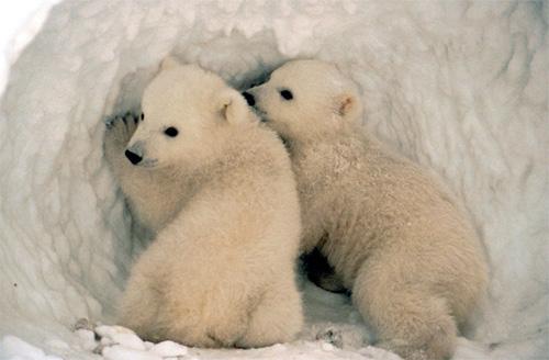 It is so cute!: Cute baby polar bears!