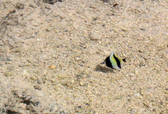 Yellow and black tropical fish Mauritius