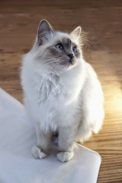 Cute Dogs and Cats: 10 Most Friendliest Cat Breeds