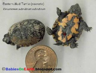 Baby Eastern Mud Turtle