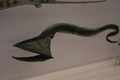 umbrella mouth gulper eel 02 ΔΕΙΤΕ: Τα πιο παράξενα πλάσματα που έχουν βρεθεί στην θάλασσα!