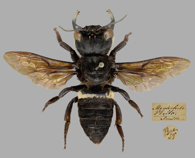 Hymenoptera, Megachilidae, Megachile pluto, bee, insect, type, OUMNH, HEC