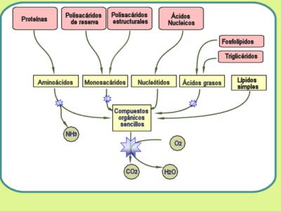 anabolicas y catabolicas