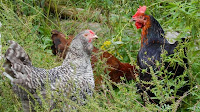 Free Range Hens are Happy & Healthy