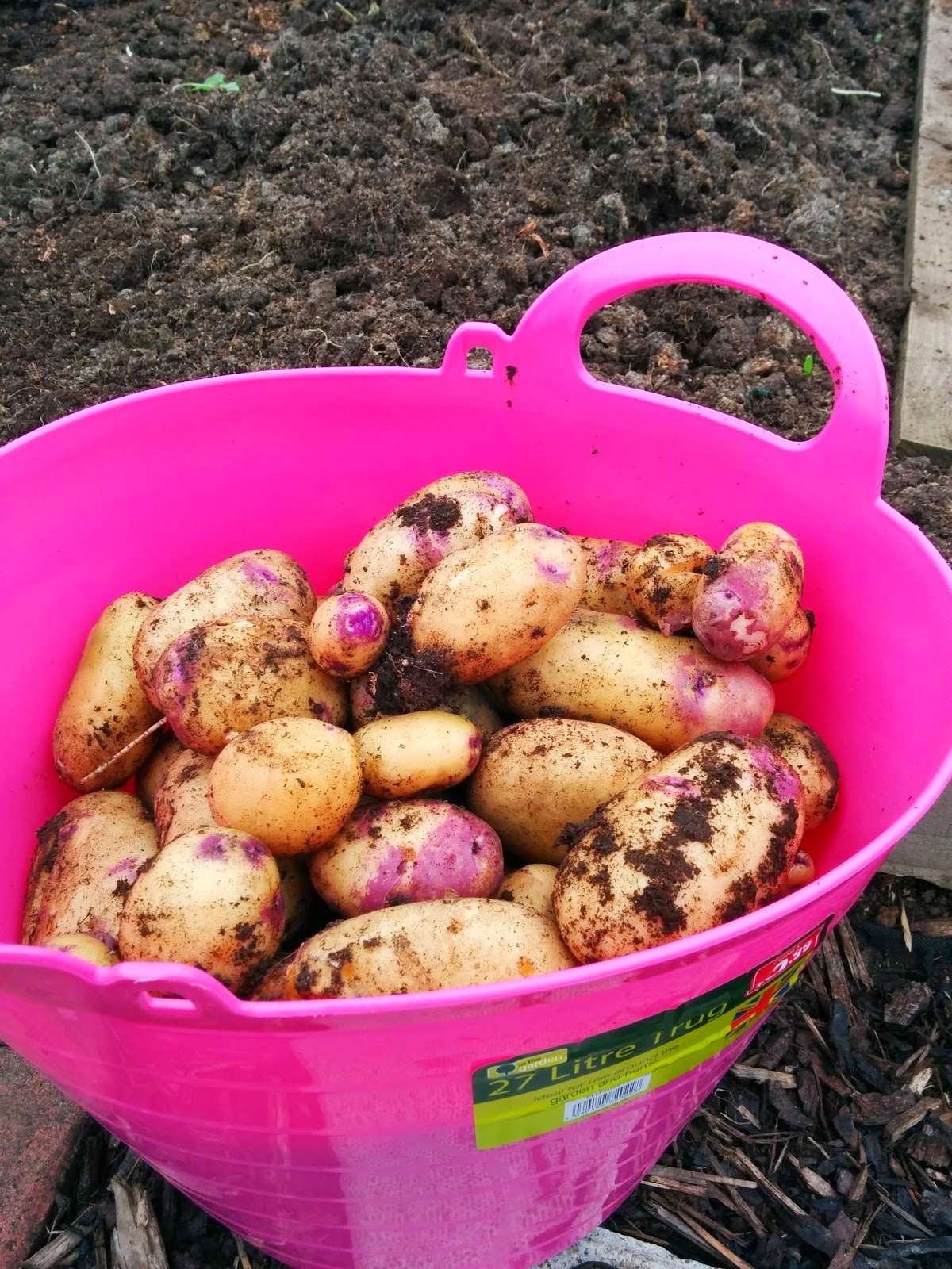 Kestrel potatoes  - 'growourown.blogspot.com' ~ an allotment blog